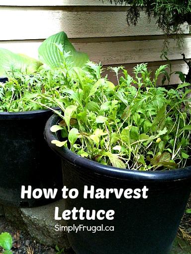 How to harvest lettuce