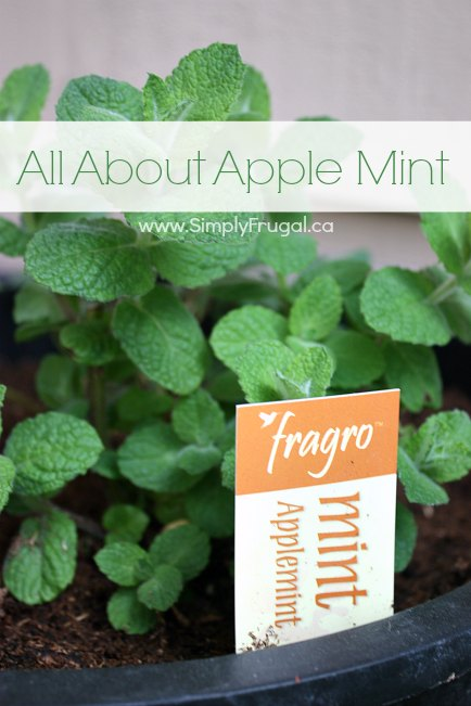 Apple mint is an herb with many uses you can enjoy. Take a look at everything you need to know about apple mint and how you can grow some yourself.