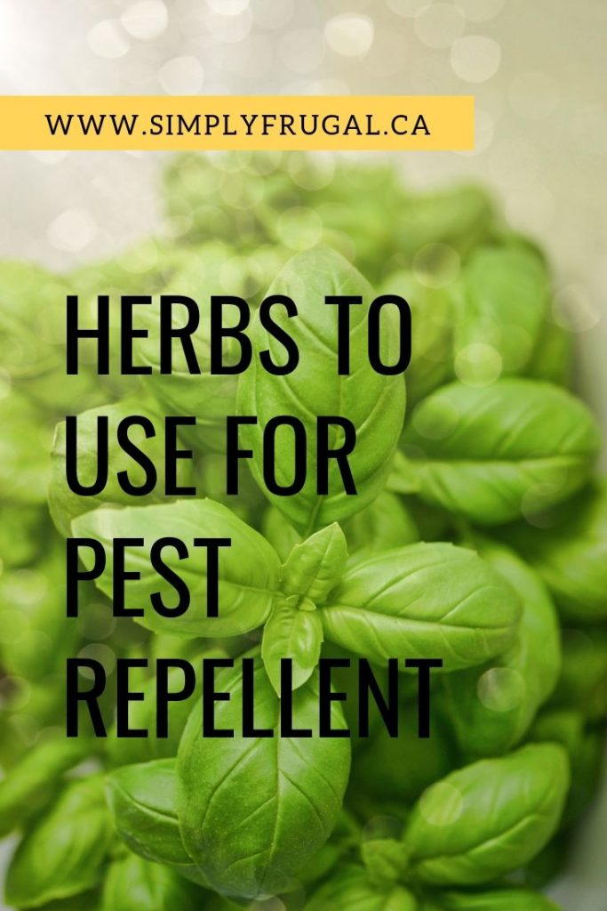 Have you got some pesky pests you're dealing with in your yard? Here are 5 Herbs to use for pest repellent!