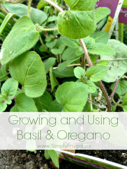 Tips for Growing and Using Basil & Oregano