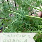 Tips for Growing and Using Dill