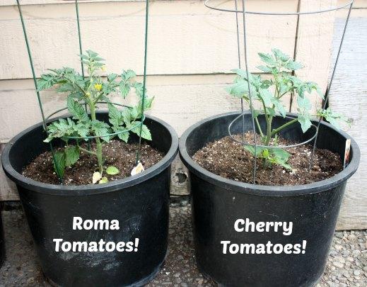 tomatoes#1