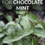 7 Creative Uses for Chocolate Mint
