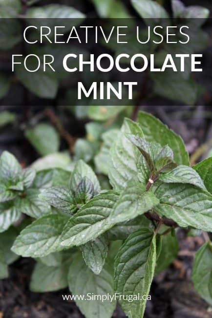 Chocolate mint smells just like the name suggests, like minty chocolate! If you grow chocolate mint or are considering it, take a look at these creative uses for chocolate mint you must try!